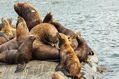 Rookery Steller sea lions. Island in Pacific Ocean near Kamchatka