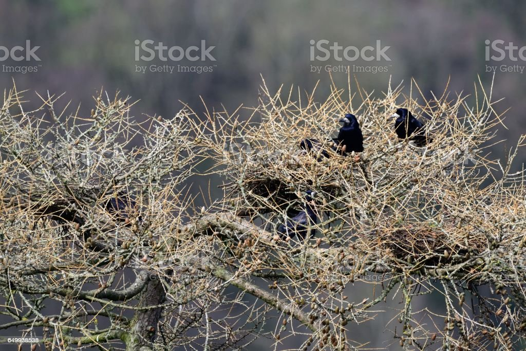 Rooks in a rookery stock photo