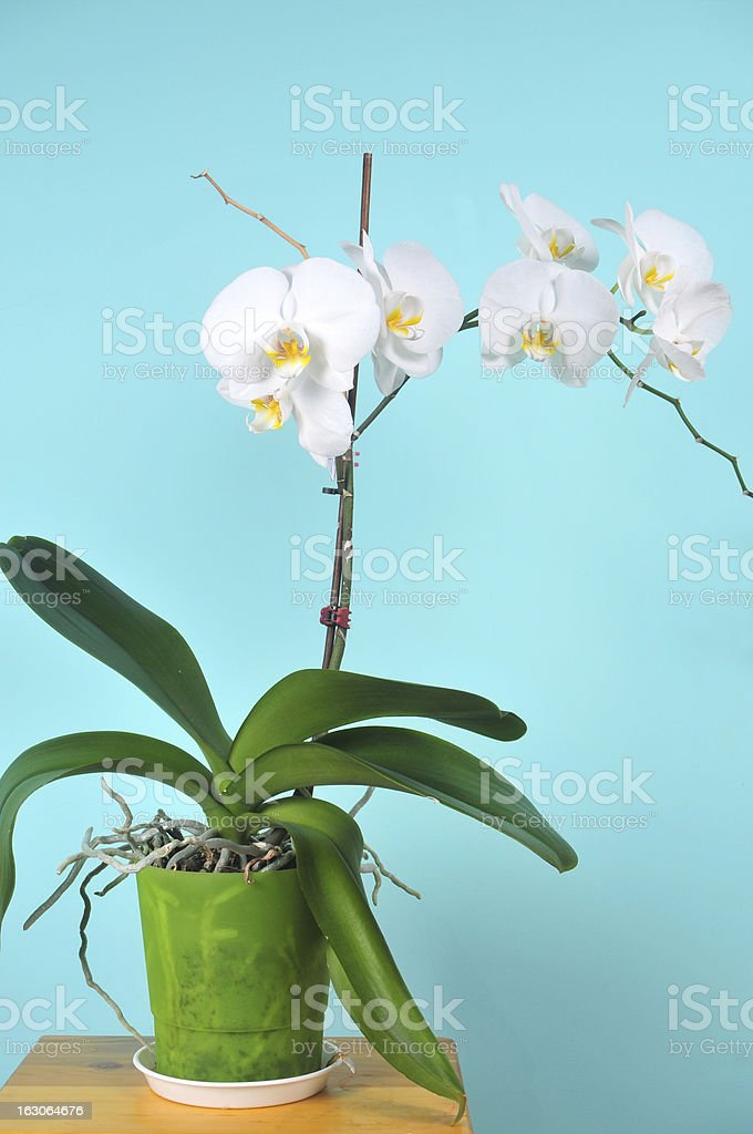 Room plant is a white orchid royalty-free stock photo