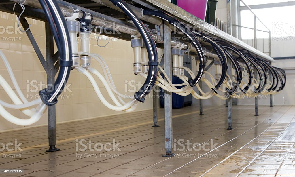 room technology for milking of sheep and goats stock photo