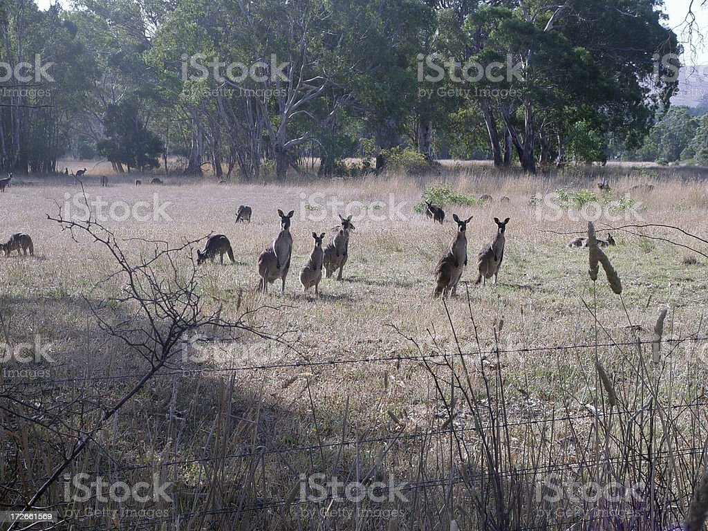Roos at rest stock photo