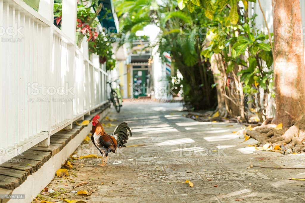 Rooser in Key West Alley Florida Tropical Travel Destination stock photo