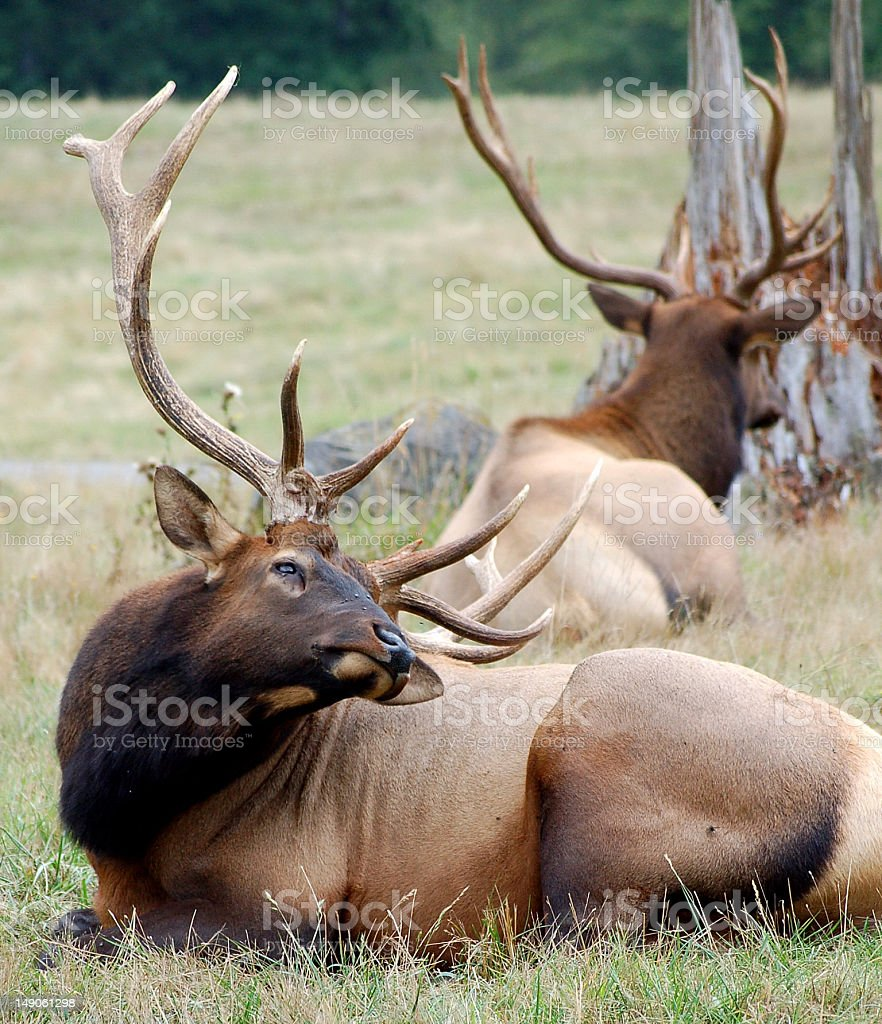 Roosevelt Bull Elk laying in field royalty-free stock photo