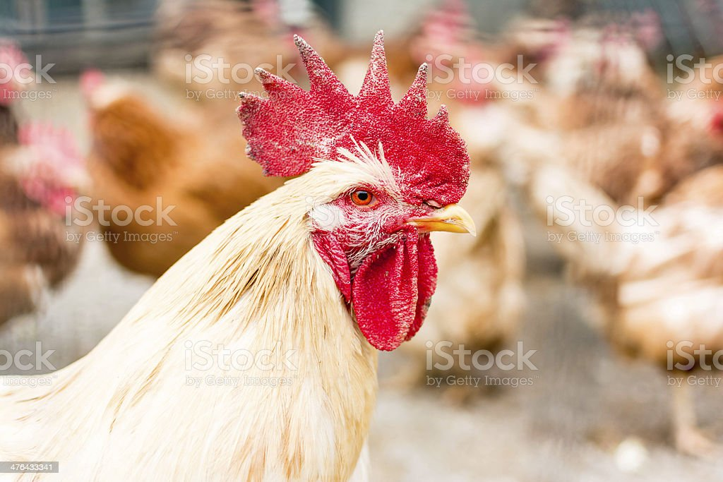 Rooster and chicken royalty-free stock photo