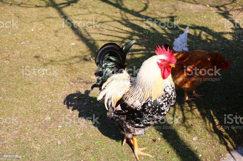 Rooster and Hen called dwarf Italian stock photo