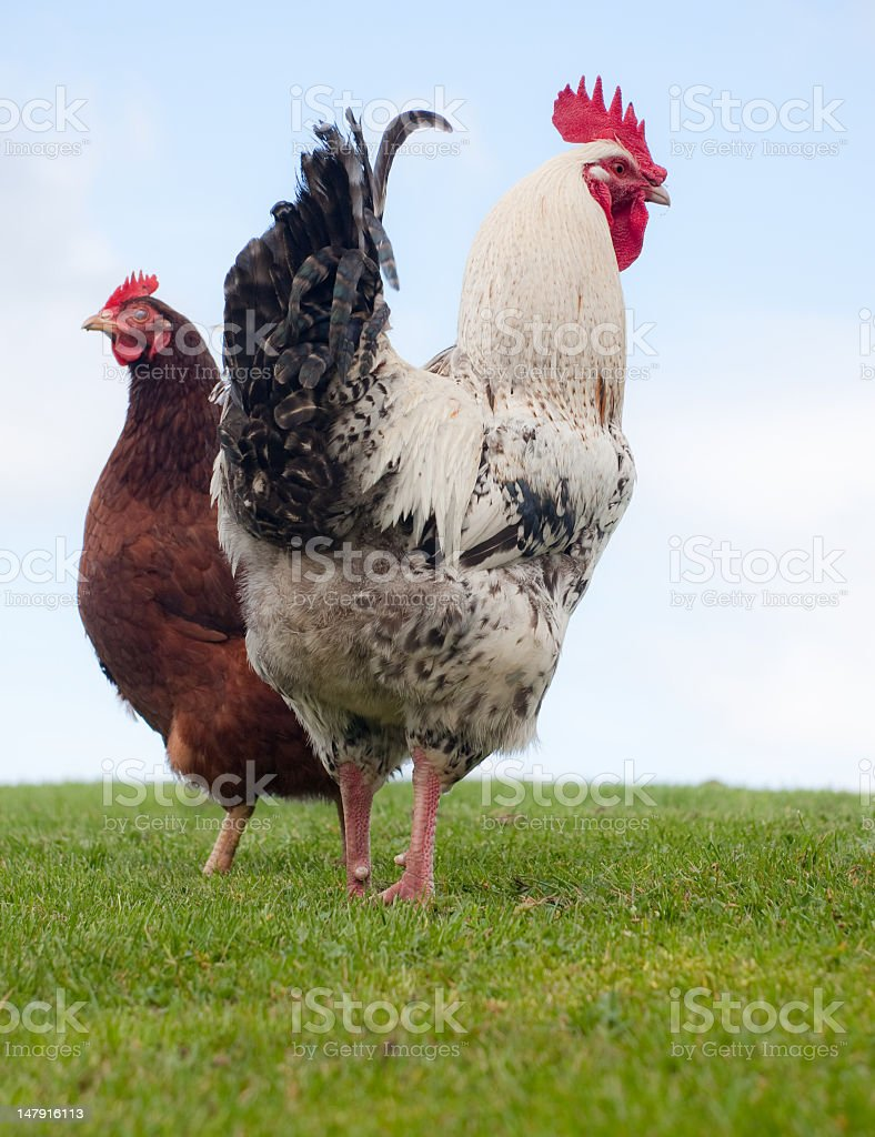rooster and hen standing against sky watching for danger royalty-free stock photo