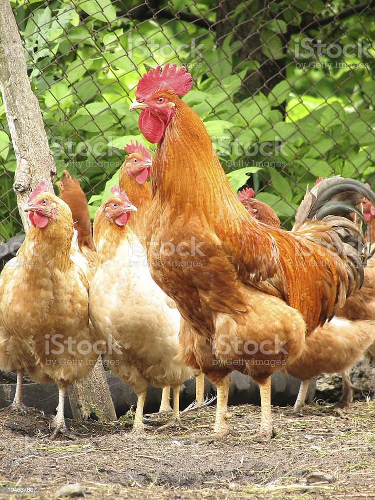 Rooster and hens at farm yard in front of fence and bushes royalty-free stock photo