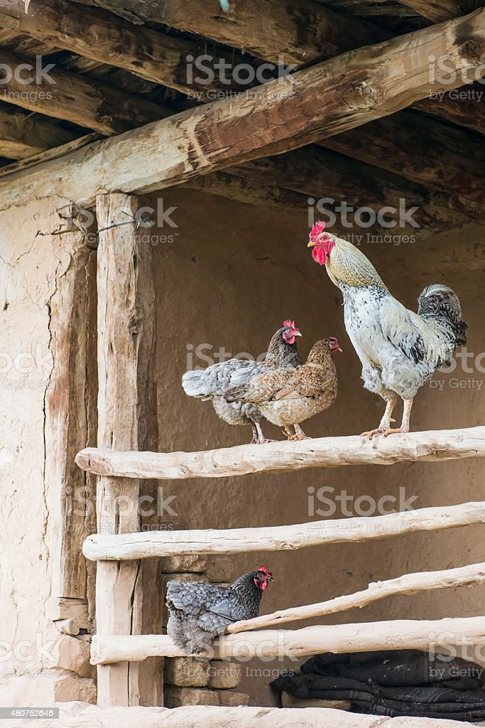 Rooster and hens stock photo