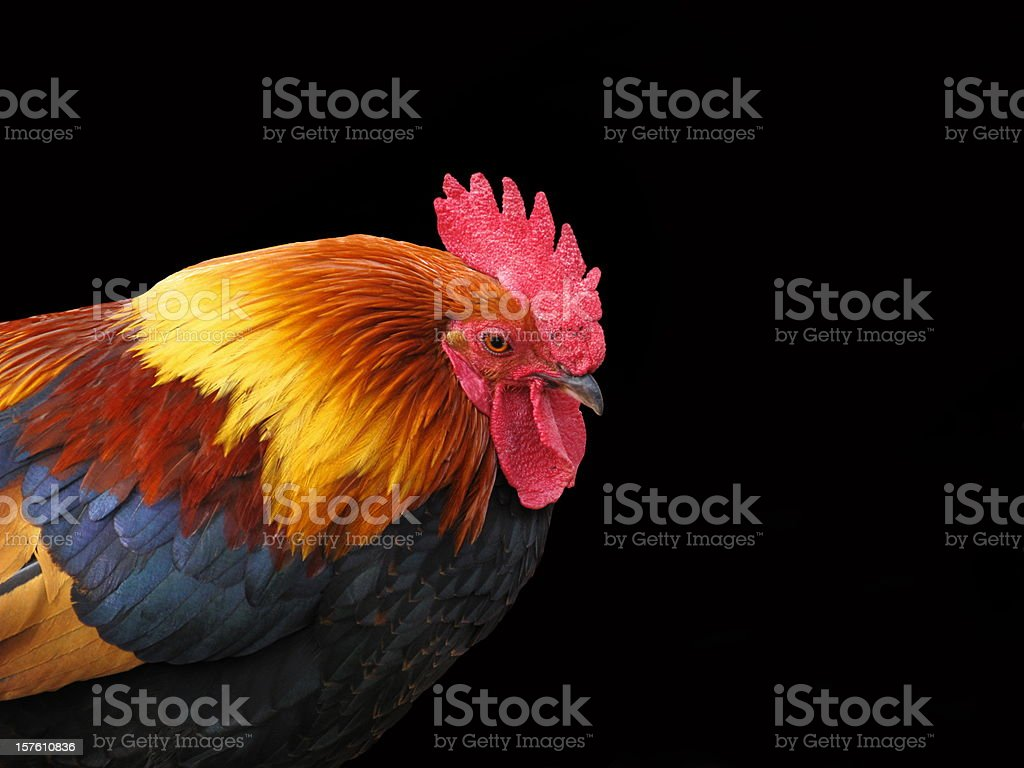 Rooster Chicken Welsumer Wattle Cockscomb Animal Profile royalty-free stock photo
