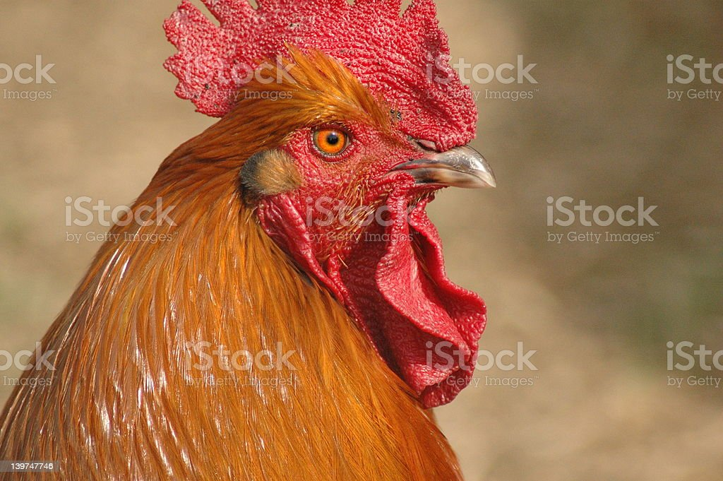 Rooster Close up stock photo