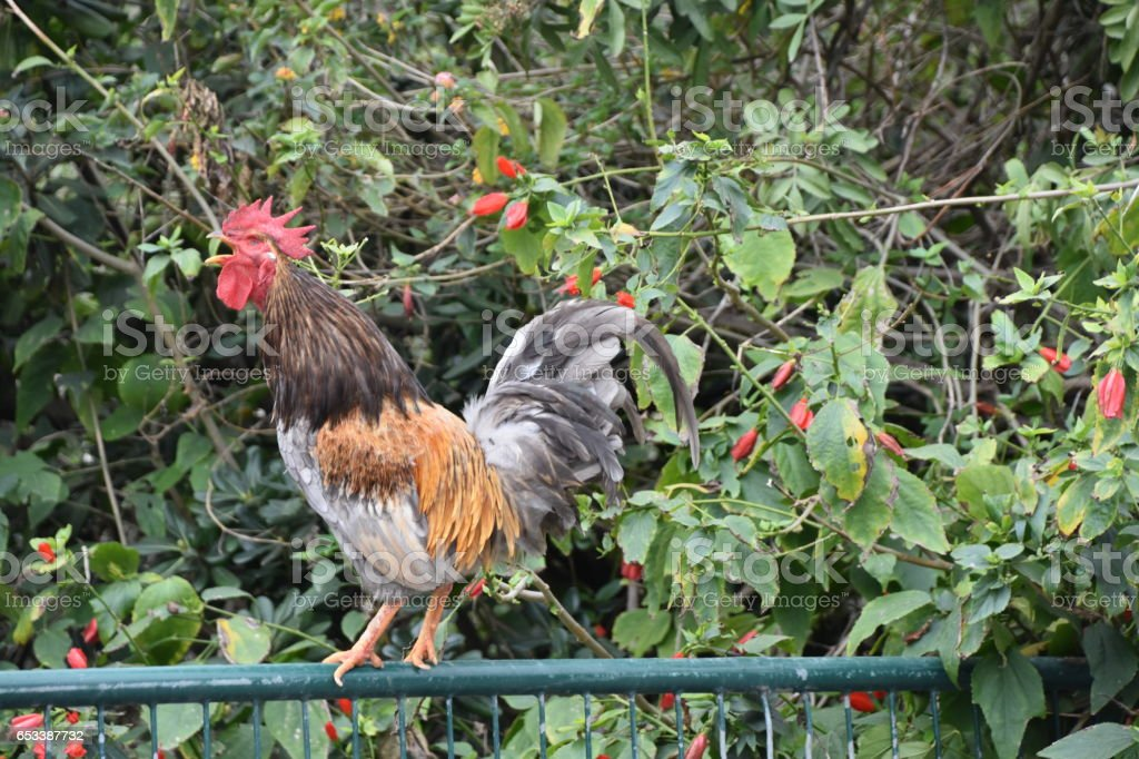 rooster crows stock photo