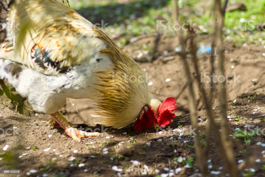 Rooster feeding in the backyard.Close up rooster in the farm on stock photo
