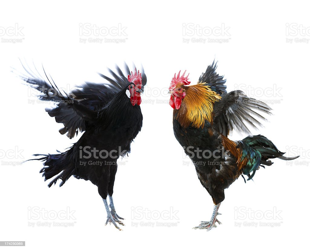 Rooster fight stock photo