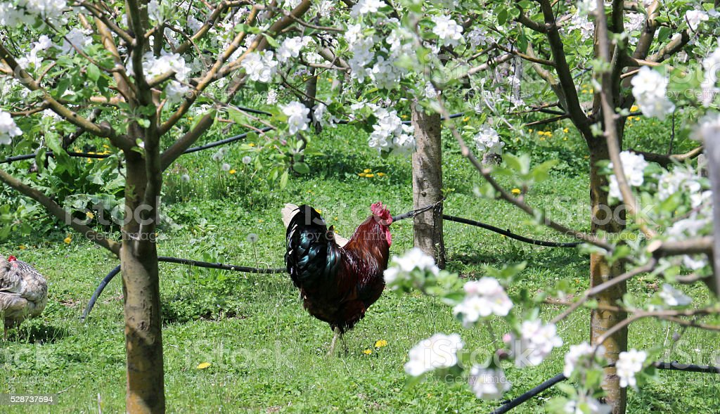rooster in a blossoming apple orchard stock photo