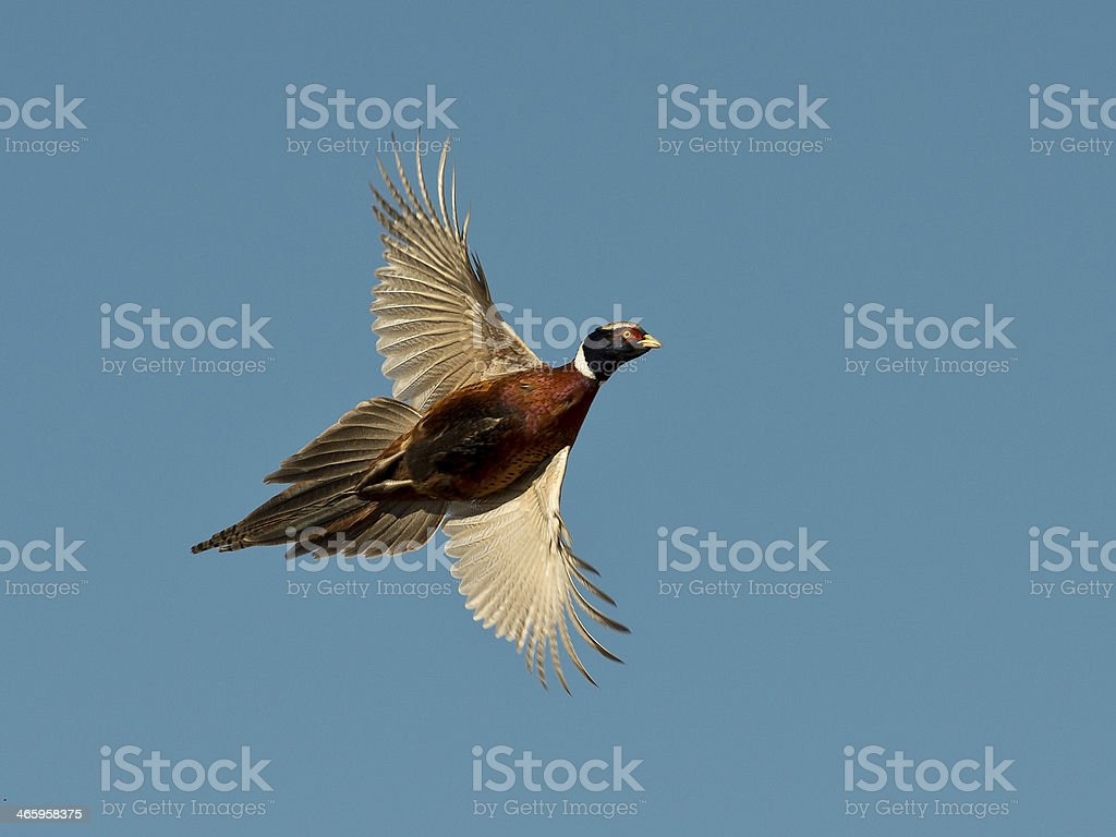 Rooster Pheasant stock photo