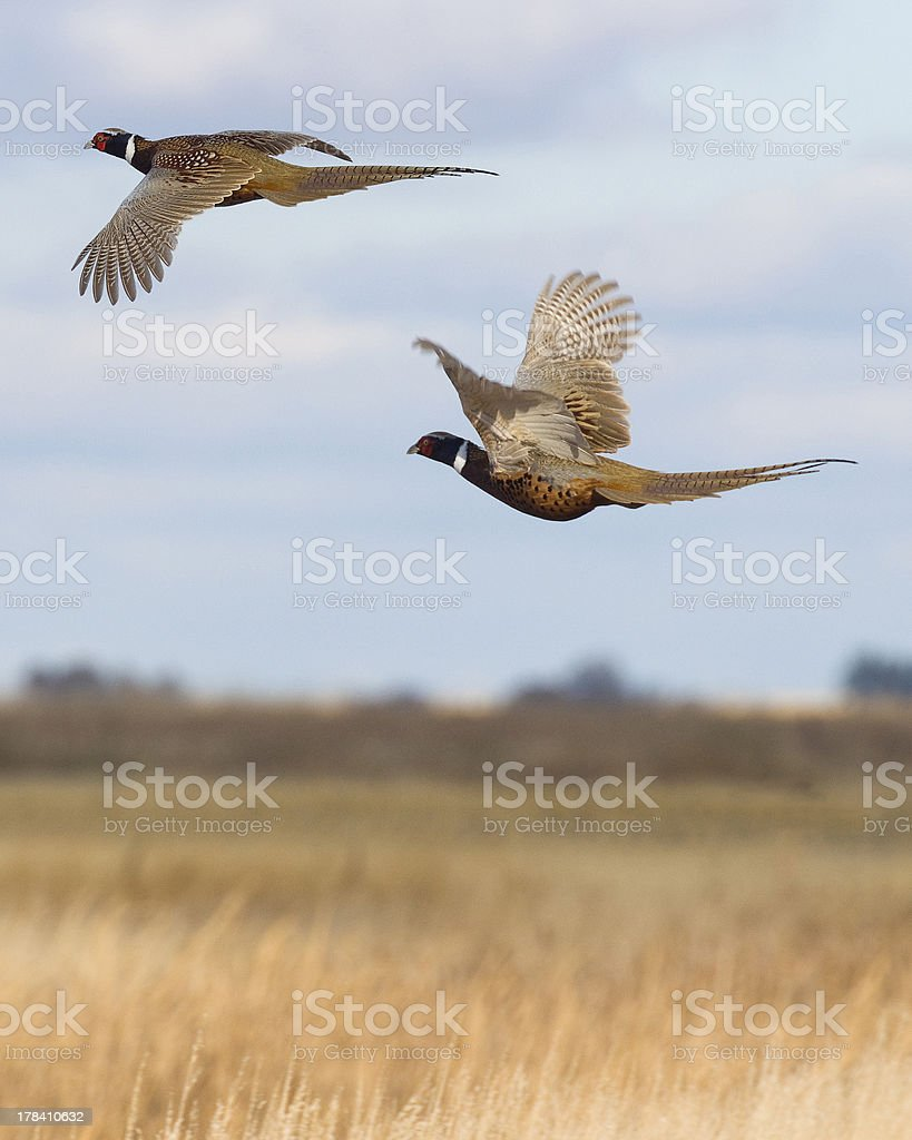 Rooster pheasants flying over open field stock photo