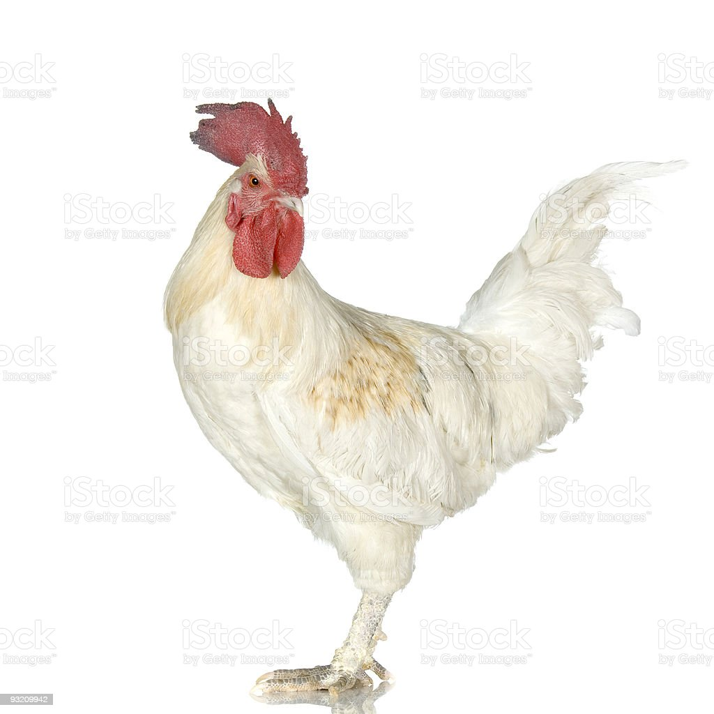 Rooster royalty-free stock photo