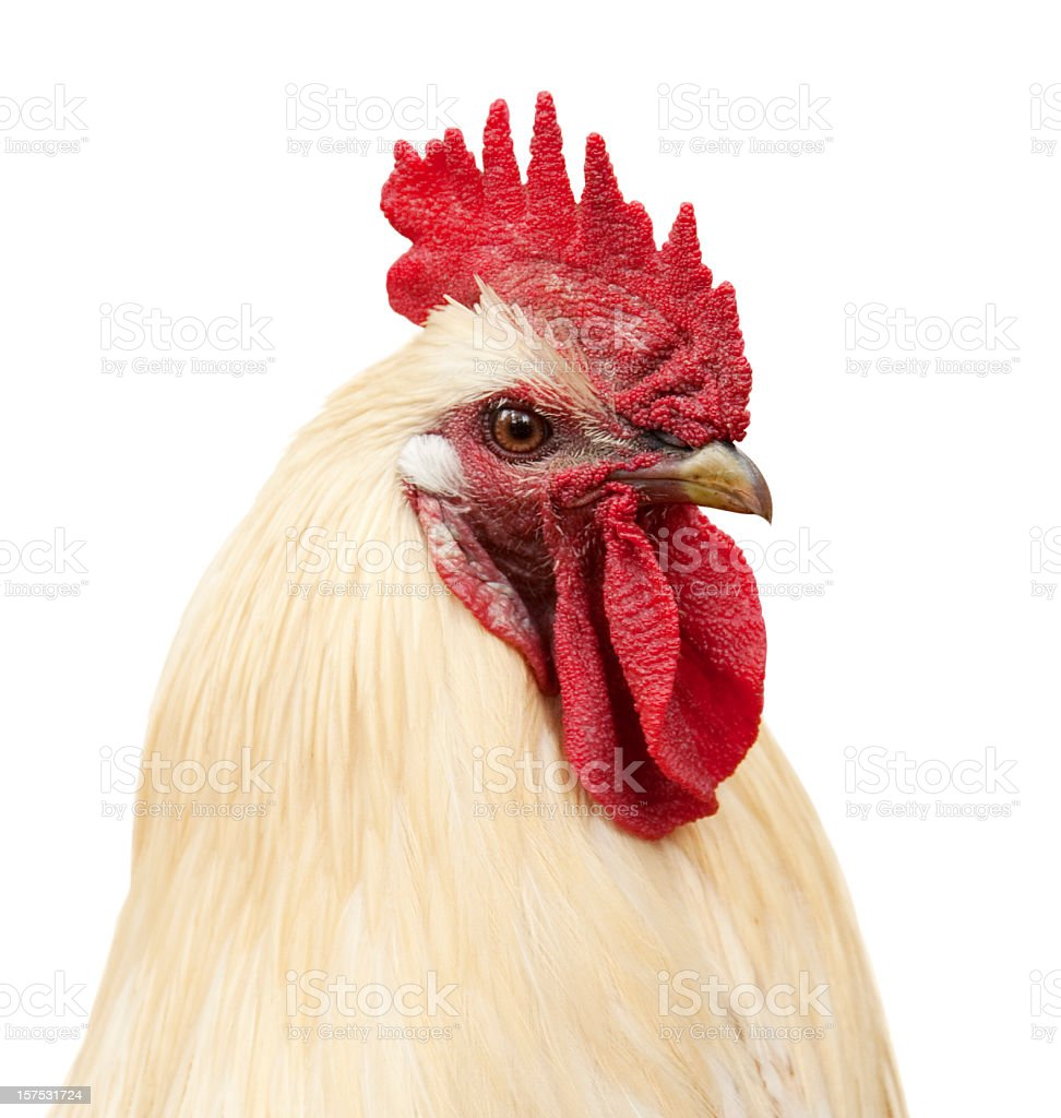Rooster portrait stock photo