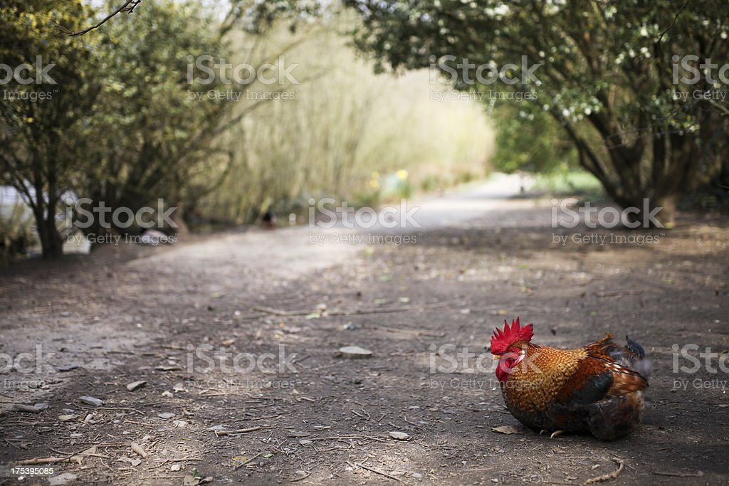 Rooster Resting by the Roadside royalty-free stock photo