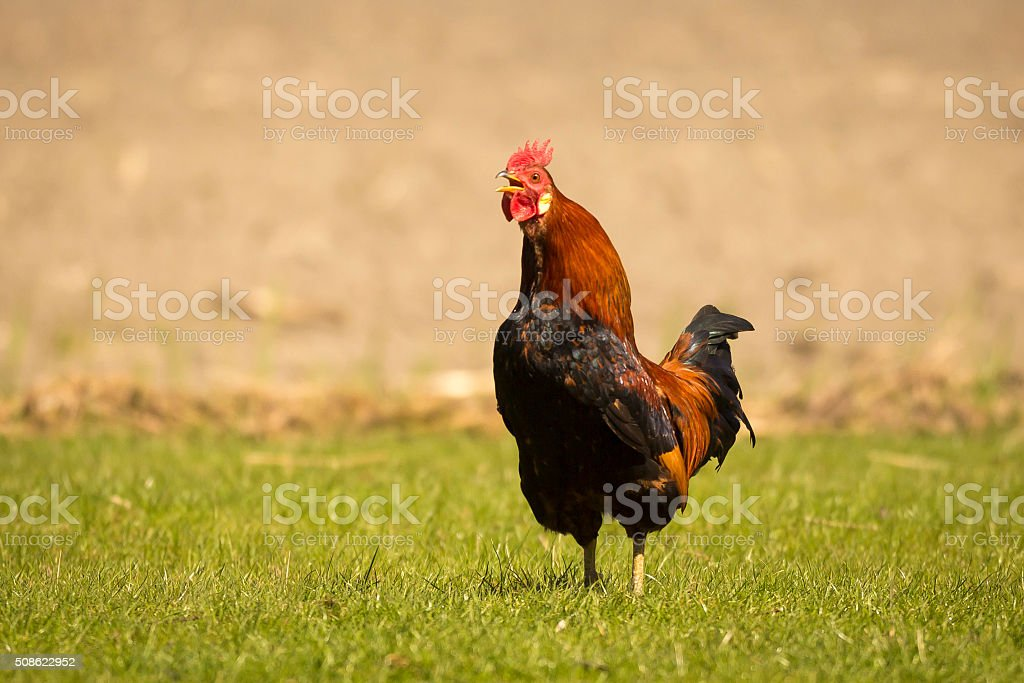 Rooster wake up call stock photo