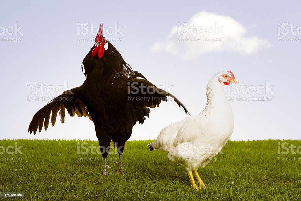 Rooster with hen stock photo