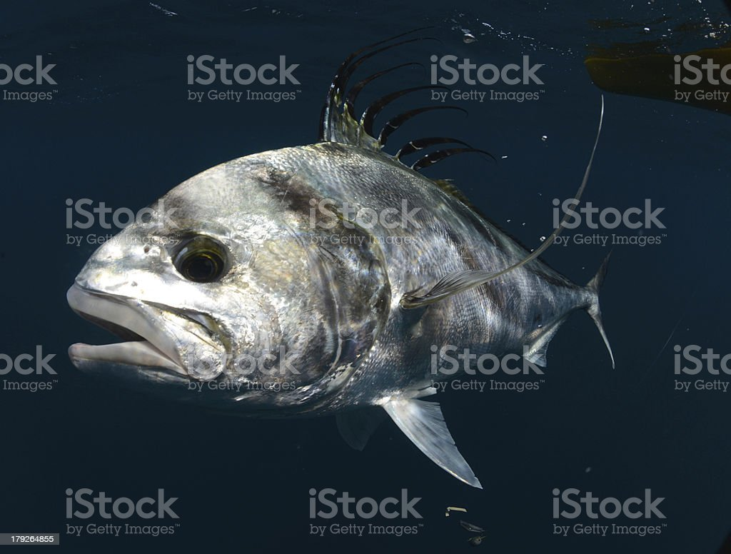 roosterfish swimming underwater in warm waters royalty-free stock photo