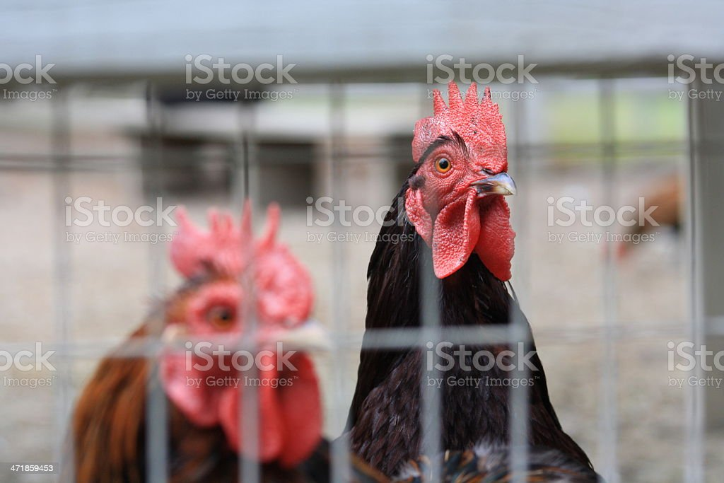 Roosters royalty-free stock photo