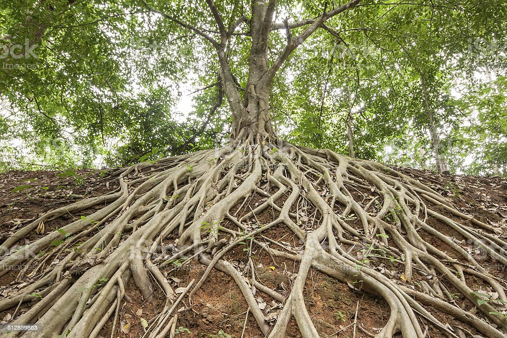 Root of banyan tree. stock photo