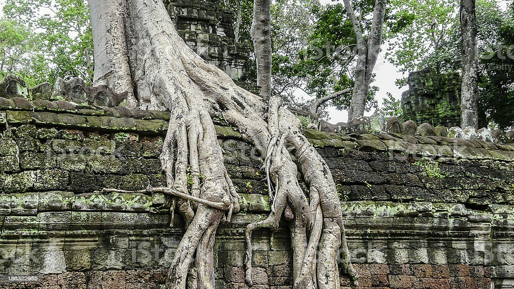 Root of big tree royalty-free stock photo