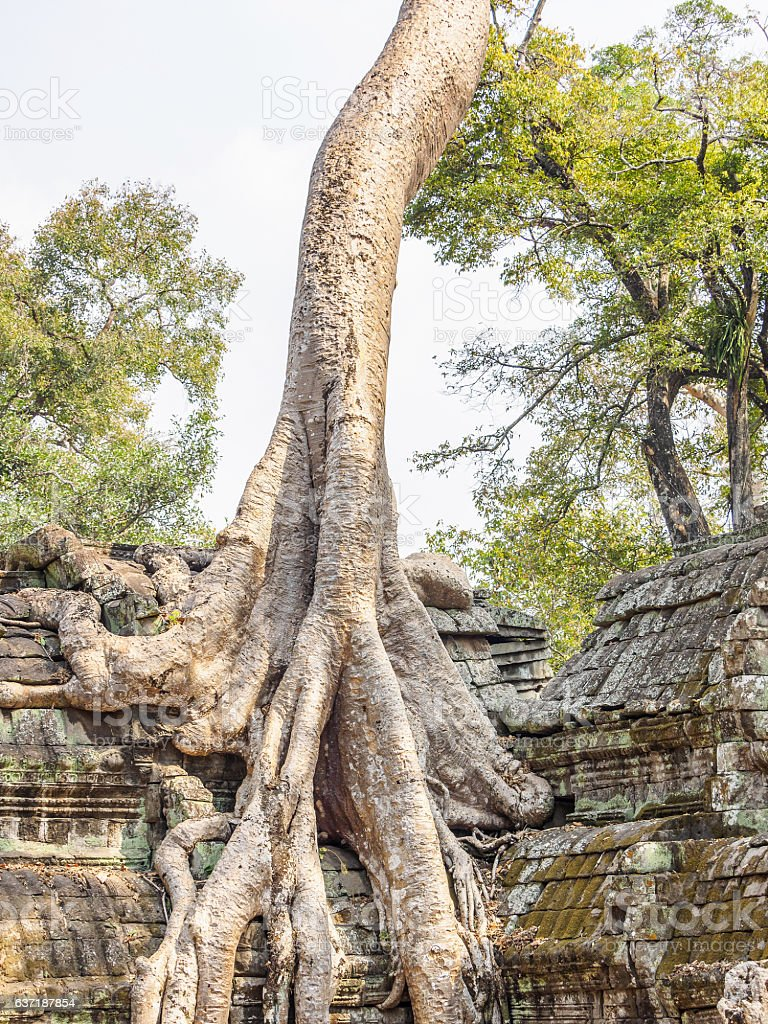 Root of the tree absorbing the ruins of the Temple. stock photo