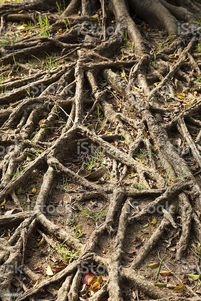 root of the tree. stock photo