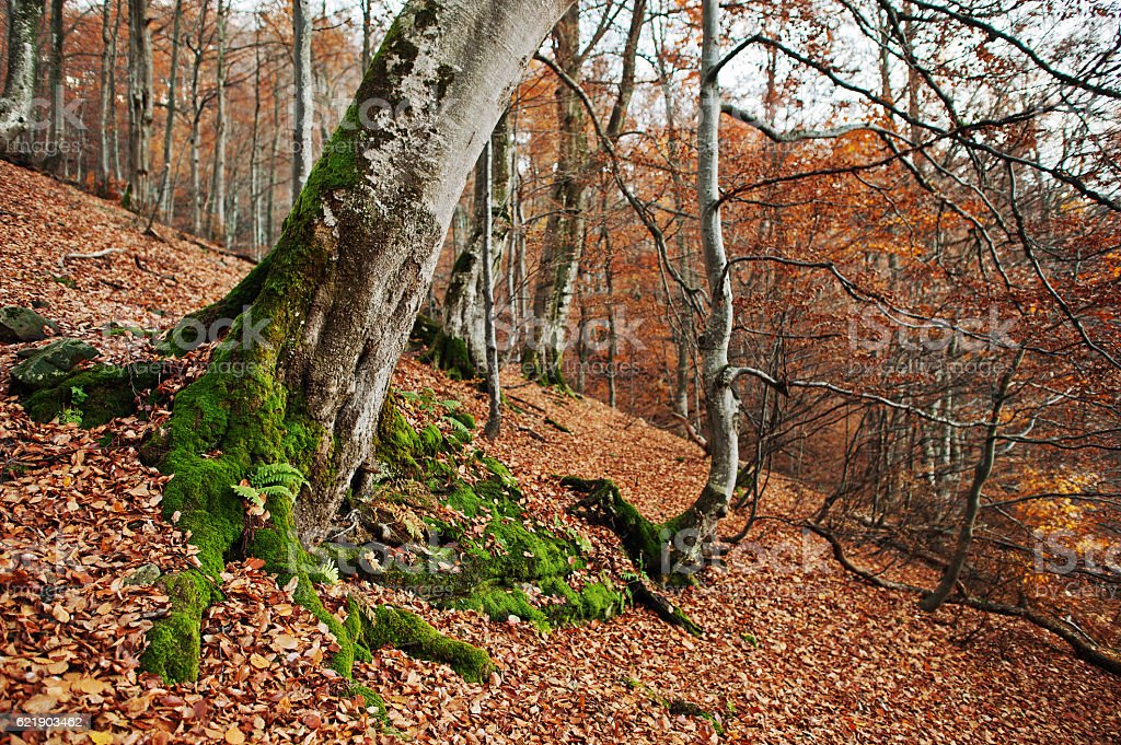 Root of tres with moss on autumn forest stock photo