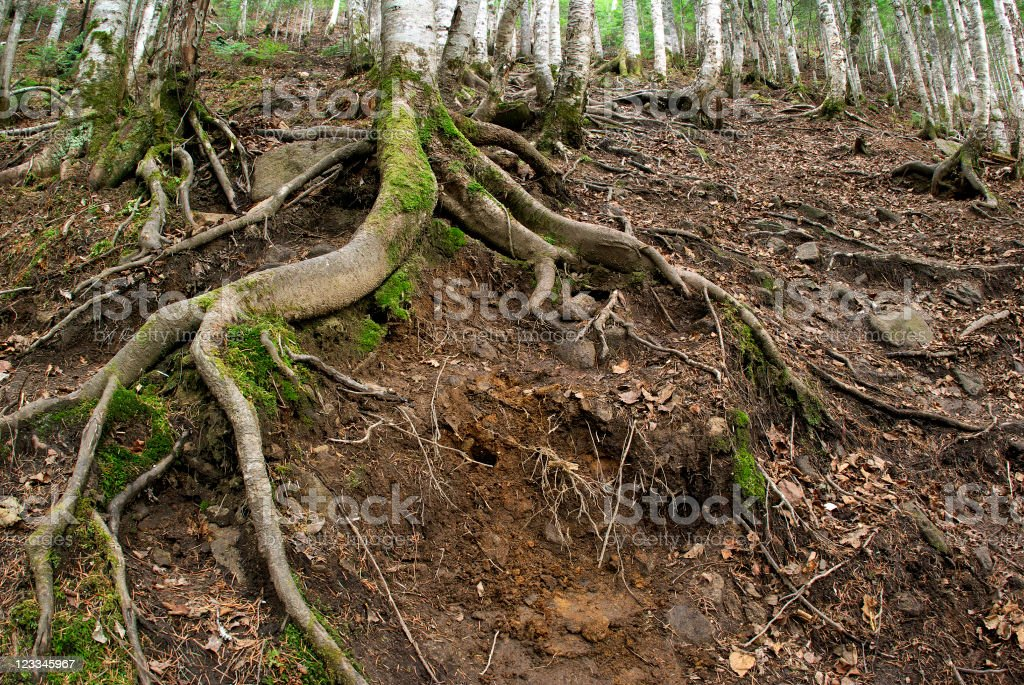 Root path royalty-free stock photo