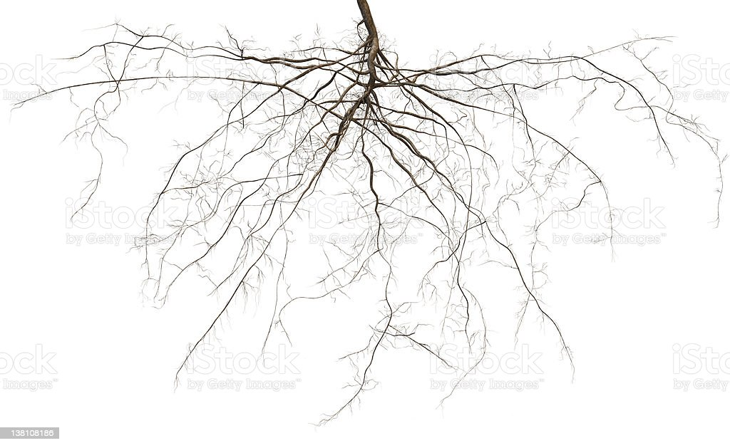 Root royalty-free stock photo