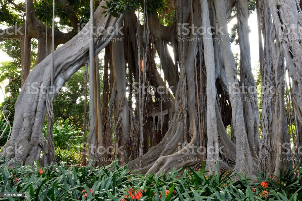 Root system of a big Ficus macrophylla stock photo
