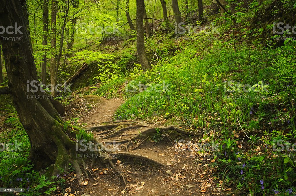 Roots and footpath on the forest stock photo