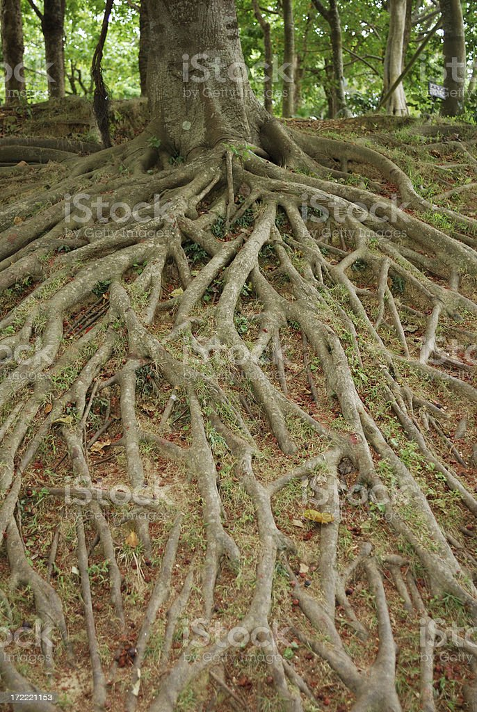 roots and tree royalty-free stock photo