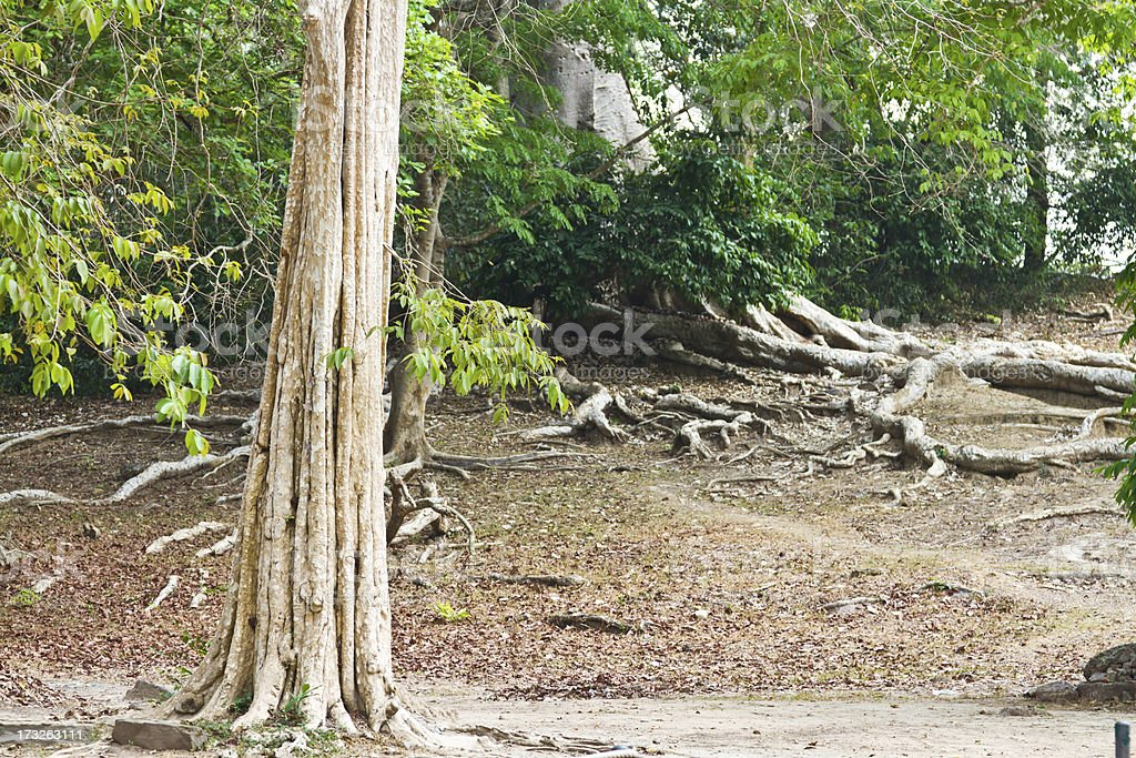 Roots and trees. royalty-free stock photo