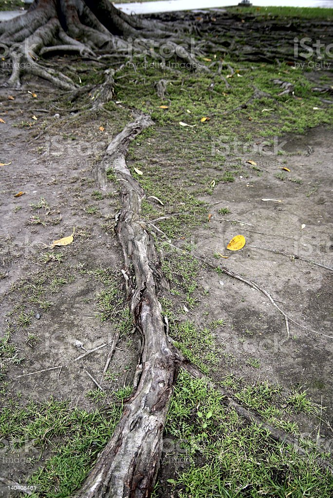 roots before the tree royalty-free stock photo