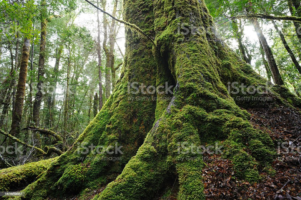 Roots of a large tree covered in moss in a forest stock photo