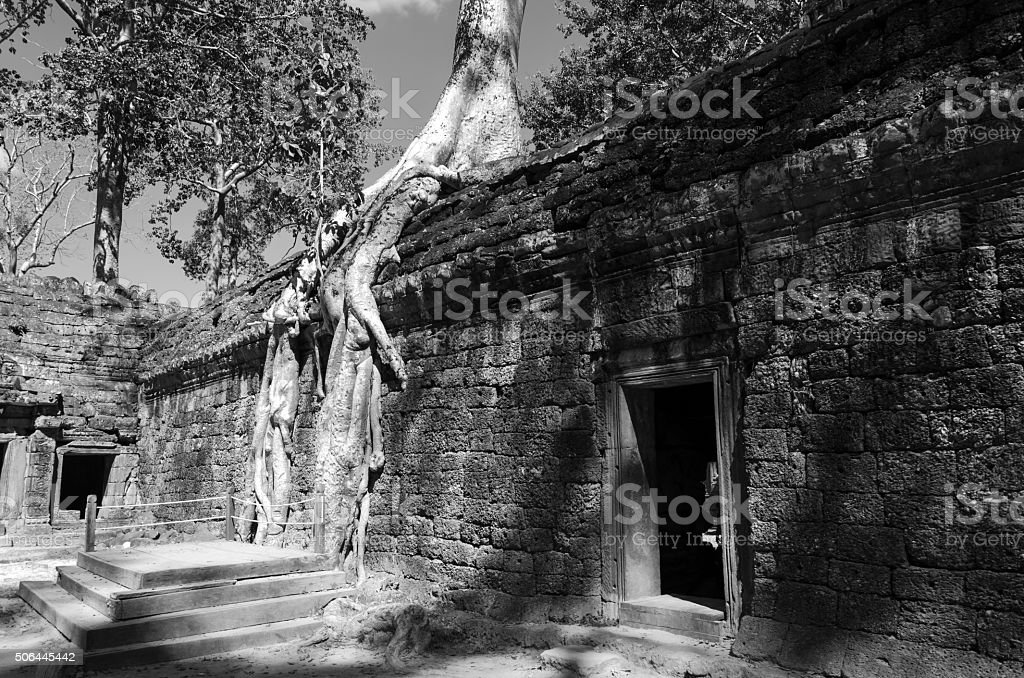 Roots of a spung on a temple in Ta Prohm stock photo