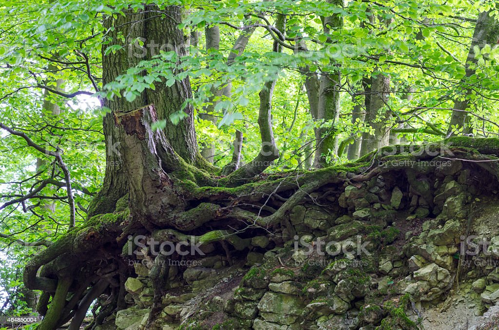Roots of an old maple tree loosing the ground stock photo