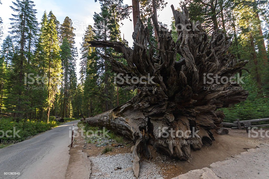Roots of lying sequoia in California stock photo