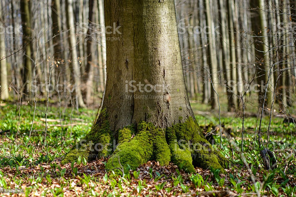 Roots of majestic old beech tree stock photo
