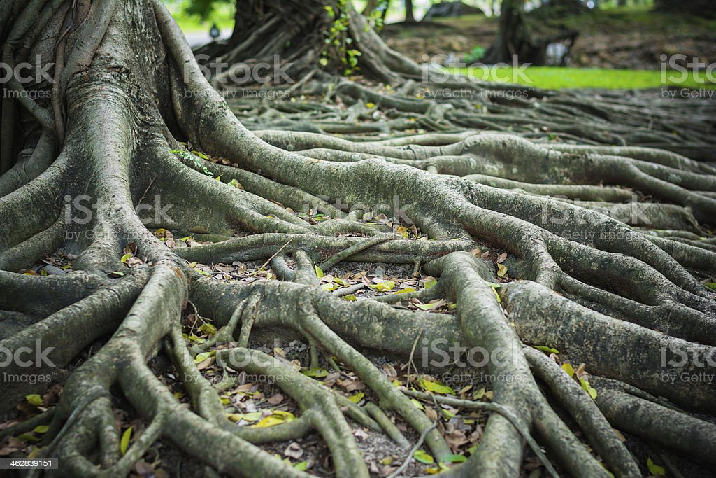 roots of the banyan forest. stock photo