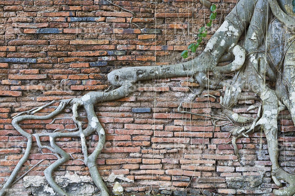 roots of the plants on old brick wall. royalty-free stock photo
