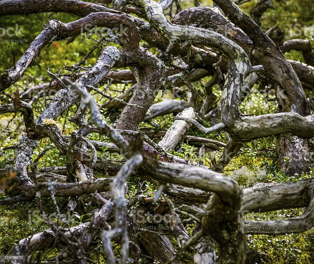 Roots of tree royalty-free stock photo