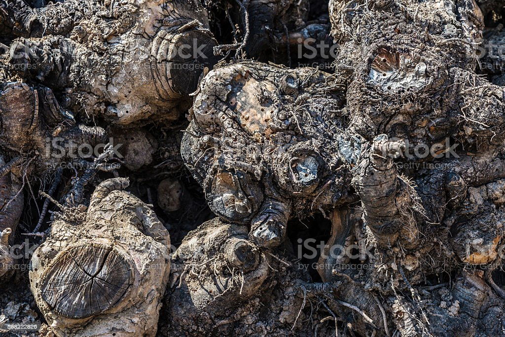 Roots of trees stacked to serve firewood stock photo