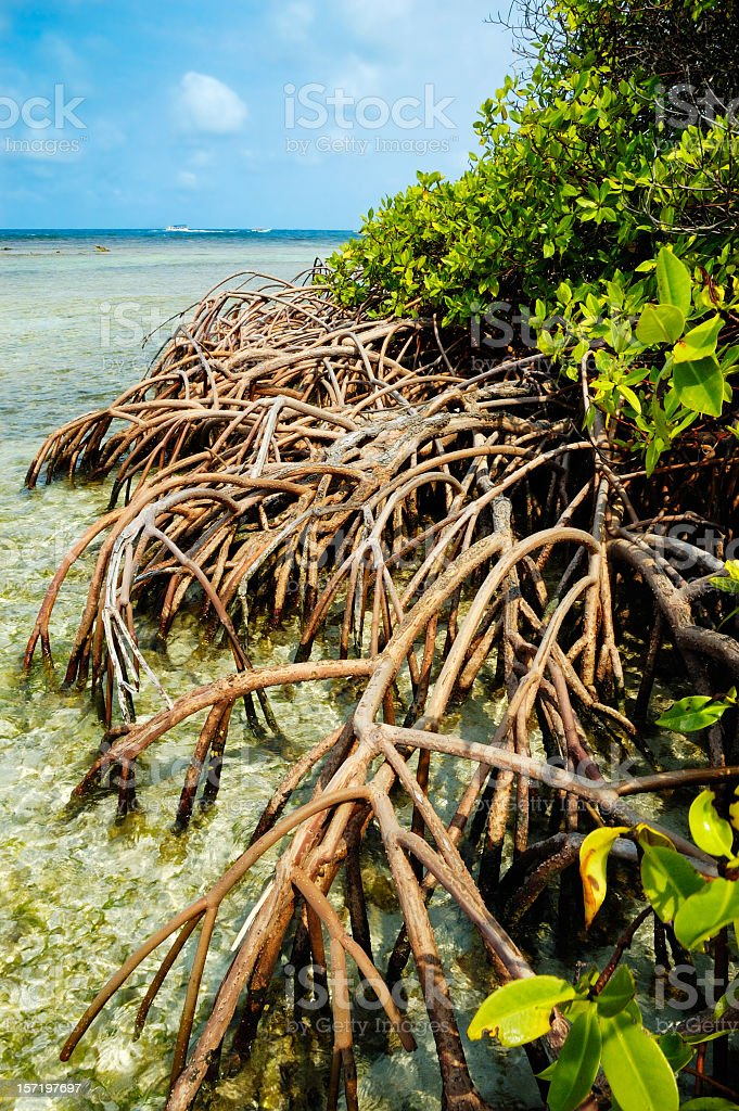 Roots of Tropical Mangroves royalty-free stock photo