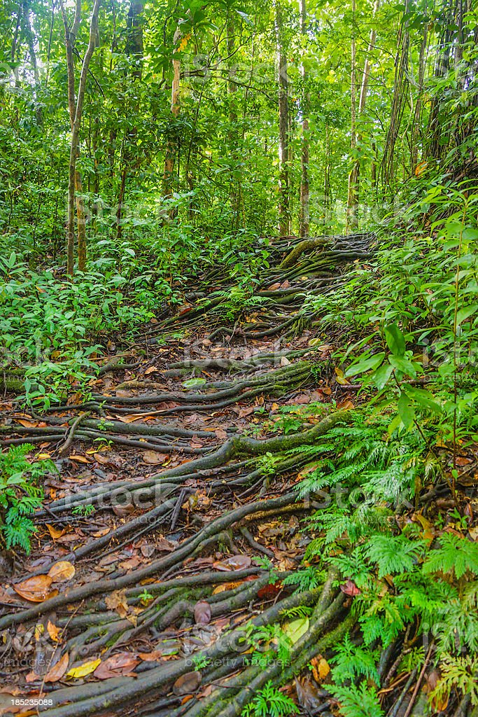 Roots on the footpath, Vermont Nature Trail, St. Vincent royalty-free stock photo
